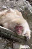 一只好奇雪猴子 库存照片