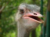 一只好奇驼鸟 免版税库存照片