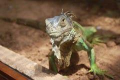 一只好奇鬣鳞蜥 库存照片