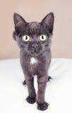 一只好奇黑小猫 库存照片