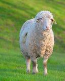 一只好奇绵羊在绿色土地 库存照片