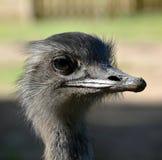 一只好奇nandu驼鸟的画象 免版税库存照片