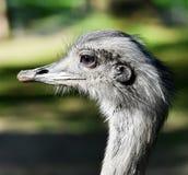 一只好奇nandu驼鸟的画象 免版税图库摄影