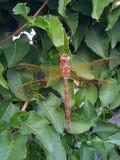 一只好的蜻蜓坐灌木英国肯特英国 免版税库存照片