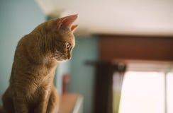 一只姜猫的外形在客厅内阁的 免版税库存图片