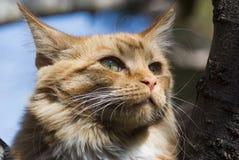 一只姜猫的特写镜头在树的 免版税图库摄影