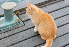 一只姜白的猫 库存图片
