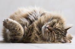 一只嫩西伯利亚棕色tortie平纹鲭鱼小猫的休眠时间 免版税库存图片