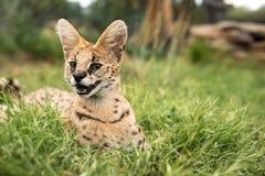 一只嬉戏的幼小猫 免版税库存图片