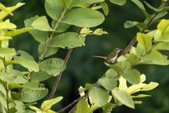一只嬉戏的长尾缝叶鸟 库存图片