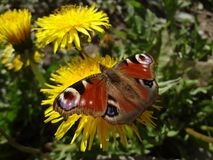 一只孔雀` s眼睛的蝴蝶在蒲公英的 免版税库存图片