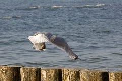 一只孤独的海鸥飞行在一个木防堤 免版税库存图片