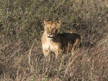 一只孤独的雌狮的被定调子的图象与惊奇的表示枪口的反对高草在马塞人玛拉国家公园 库存图片