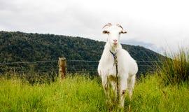 一只孤立山羊 免版税库存图片