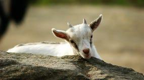 一只孤立山羊 免版税图库摄影