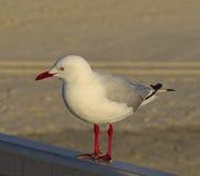 一只孤立海鸥 库存图片