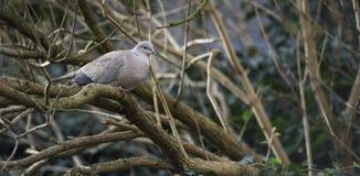 一只孤立灰色鸽子鸟坐树枝在天期间 库存照片