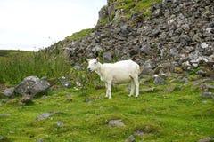 一只孤立绵羊在一个岩石山腰吃草在农村苏格兰 免版税库存照片