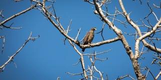 一只孤立老鹰 免版税库存照片