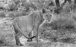 一只孤立雌狮的一个黑&白色风景 免版税库存图片