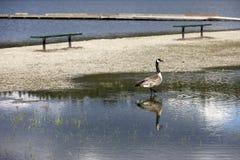 鹅在洪水趟过。 免版税库存图片
