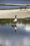 鹅在公园水灾地区。 免版税库存图片