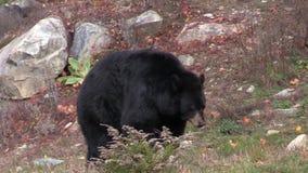 一只孤立,大黑熊 影视素材