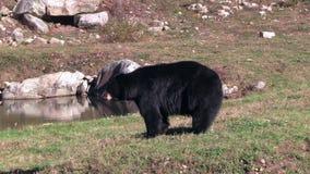 一只孤立,大黑熊 股票视频