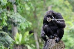 一只孤立黑猩猩猴子 图库摄影
