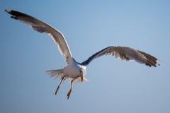 一只孤零零海鸥飞行反对精采蓝天 免版税库存图片