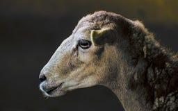 一只安静的绵羊的图片 库存照片