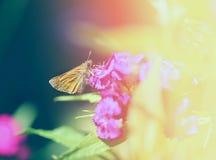 一只宏观金黄蝴蝶的照片 库存图片