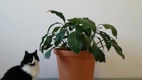一只家庭淘气猫看并且啃一朵家庭花 猫的危险在家庭情况-中毒 股票录像