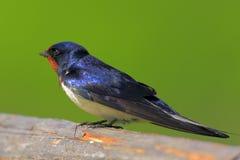 一只家燕鸟的特写镜头在春天嵌套期间 免版税图库摄影