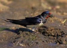 一只家燕鸟的特写镜头在春天嵌套期间 免版税库存图片