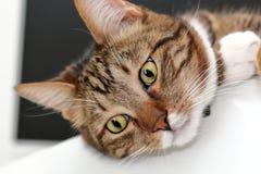 一只家猫的枪口 免版税图库摄影
