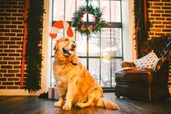一只家谱成人金毛猎犬,拉布拉多在充分的成长坐用新年的和基督装饰的窗口的背景 库存照片