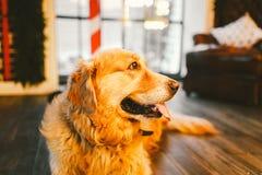 一只家谱成人金毛猎犬,拉布拉多在充分的成长坐用新年的和基督装饰的窗口的背景 免版税库存照片