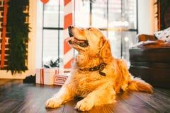 一只家谱成人金毛猎犬,拉布拉多在充分的成长坐用新年的装饰的窗口的背景和 库存照片