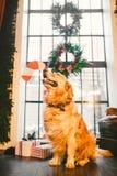 一只家谱成人金毛猎犬,拉布拉多在充分的成长坐用新年`装饰的窗口的背景s 库存照片