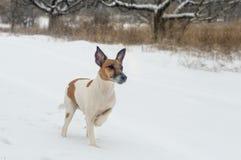 一只家谱狗狐狸狗在狩猎的冬天森林里,在a 免版税库存照片