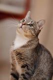 一只家养的灰色镶边猫的画象 图库摄影