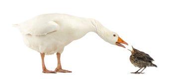 一只家养的鹅和一共同黑鹂面对的侧视图 库存照片