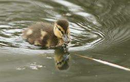 一只寻找食物的逗人喜爱的野鸭鸭子语录platyrhynchos在河 免版税库存照片