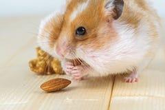 一只小仓鼠吃一个杏仁 免版税库存图片