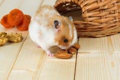 一只小仓鼠在他的房子吃一枚杏仁坚果 免版税库存图片