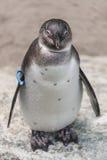 一只小企鹅,德国的画象在sommer时间的 库存图片