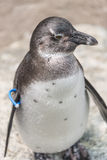 一只小企鹅,德国的画象在sommer时间的 免版税库存照片