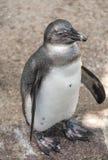 一只小企鹅,德国的画象在sommer时间的 免版税库存图片