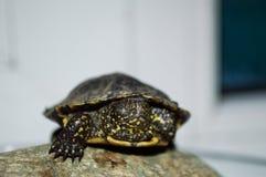 一只小土地草龟在公寓的一个岩石说谎 图库摄影